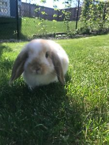 Adorable Baby bunny for sale