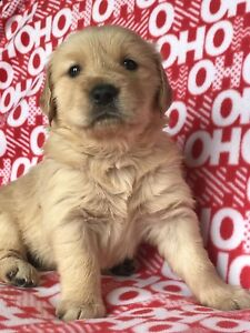 Golden Retriever Puppies!!! Price reduced!