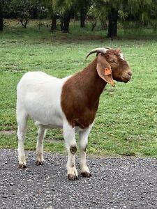 2x Bore goats
