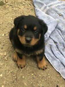 Rottweiler | Adopt Dogs & Puppies Locally in Alberta | Kijiji