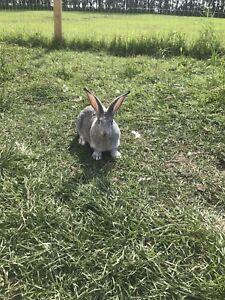 Giant Chinchilla Rabbits