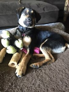 Spayed female shepherd x 8 months old
