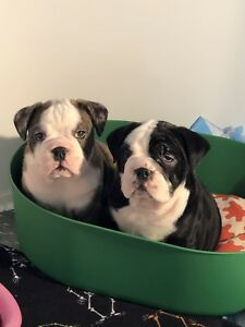 Ckc rare Merle English bulldog puppy