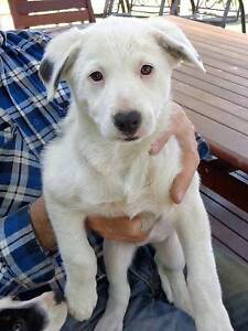 BORDER COLLIE PUPPIES Bargo Wollondilly Area Preview