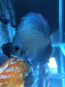 4 month old blue cobalt discus