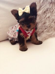 Yorkie | Adopt Dogs & Puppies Locally in Toronto (GTA