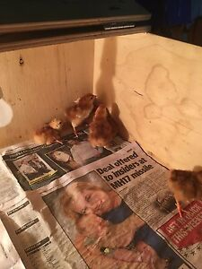 Rhode Island Red chicks Caboolture South Caboolture Area Preview