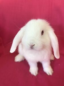 ♥♥♥ Mini Lop Rabbit Hutch Packages Complete Set Up ♥♥♥ Londonderry Penrith Area Preview