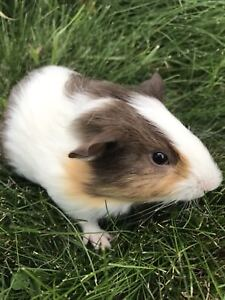Male guinea pigs 30$ for the two