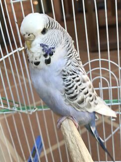 Adult female Texas clearbody budgie