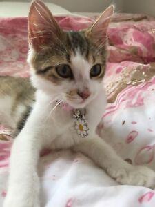 Beautiful 12 Week Old Kitten