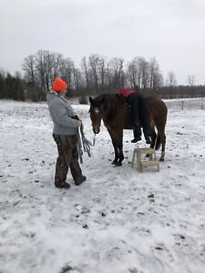 Registered American warmblood mare