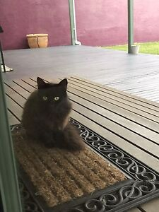 Cat looking for a new friendly home Glenroy Moreland Area Preview