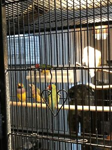 Gouldian, Zebra & Star finches for Sale