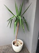 Pot & Yukka plant Bayview Heights Cairns City Preview