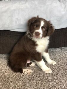 One mini male Aussie for sale!