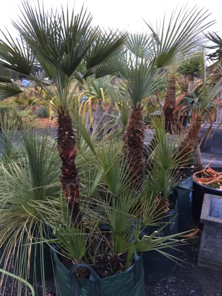 European fan palm Chamaerops Humilis palm tree