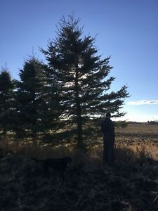 15-20' large spruce trees for sale