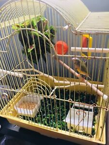 Gouldian finch and cage