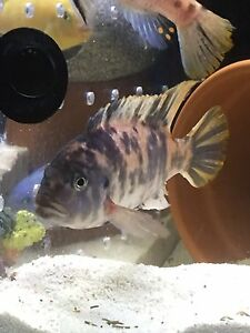 Ob blueberry zebra cichlid Liverpool Liverpool Area Preview