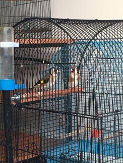 European Goldfinch Pair