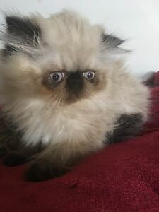 600$ special. Beautiful purebred Himalayan kitty