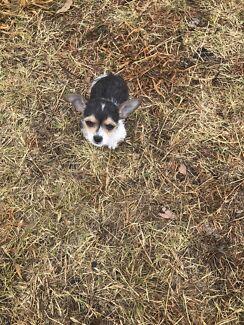 Chihuahua x foxy pup