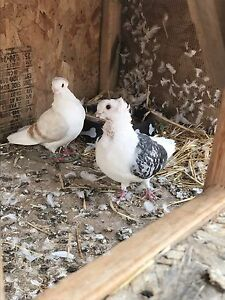 Quality pigeons for sale