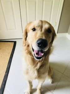 2 year old golden retriever looking for a new home