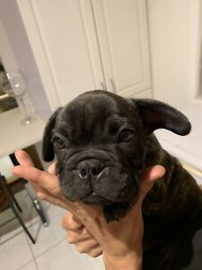 French bulldog pup ankc reg LUCKY LAST!