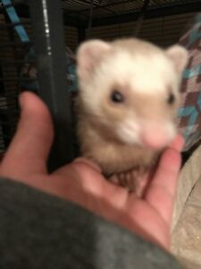 ASAP FERRET TO A GOOD HOME