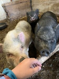 Micro Pig Kijiji Buy Sell Save With Canadas 1 Local