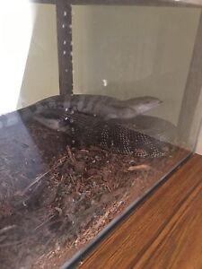 2 blue tongue lizards and enclosure Frankston Frankston Area Preview