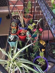 Pots plants. Succulent sale $2 each Westmead Parramatta Area Preview