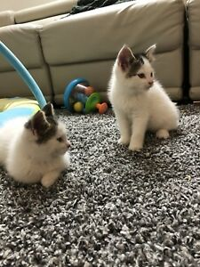7 weeks old kittens