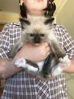 Ragdoll kittens Purebred