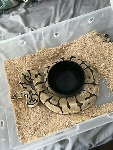 Ball pythons adult females ready to breed