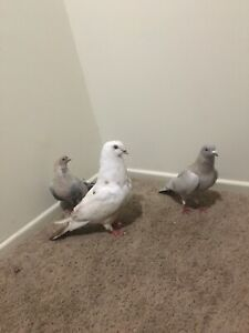 There pigeons for sale