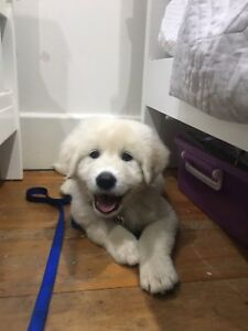 Maremma puppy for sale