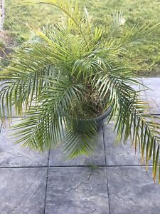 Sell 3 small palm trees