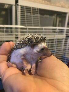 Adorable Baby African Pygmy Hedgehogs