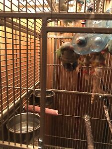 Green Quaker parrot with cage