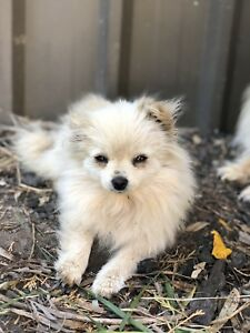 Pomeranian Cream Miniature Female