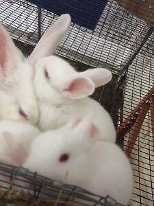 4 week old New Zealand bunnies