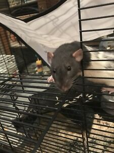 2 female rats and cage
