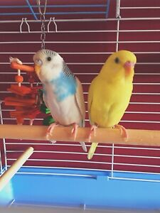 2 budgie birds (cage, supplies, etc. included)