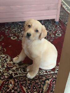 Pure-breed Labrador pup