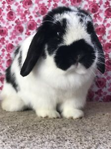 Holland Lop Female for Forever Pet Home