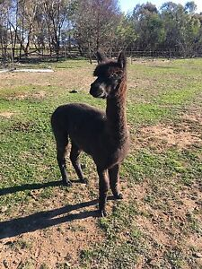 Alpaca Wethers x2 Four Mile Creek Cabonne Area Preview