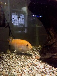 African Cichlid for Sale or Trade